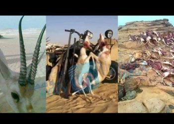 Retour des braconniers qataris